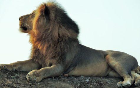 Lions, Cheetahs and Wolves: Up Close with Miranda Wallace