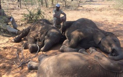 African Elephants: End to another species
