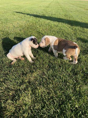 Puppies Take Over BVU